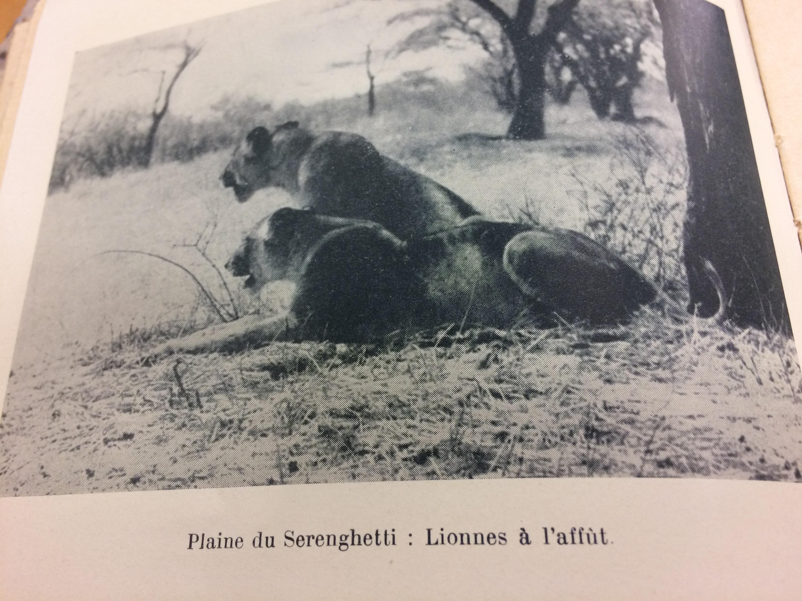 leonesse_serengeti