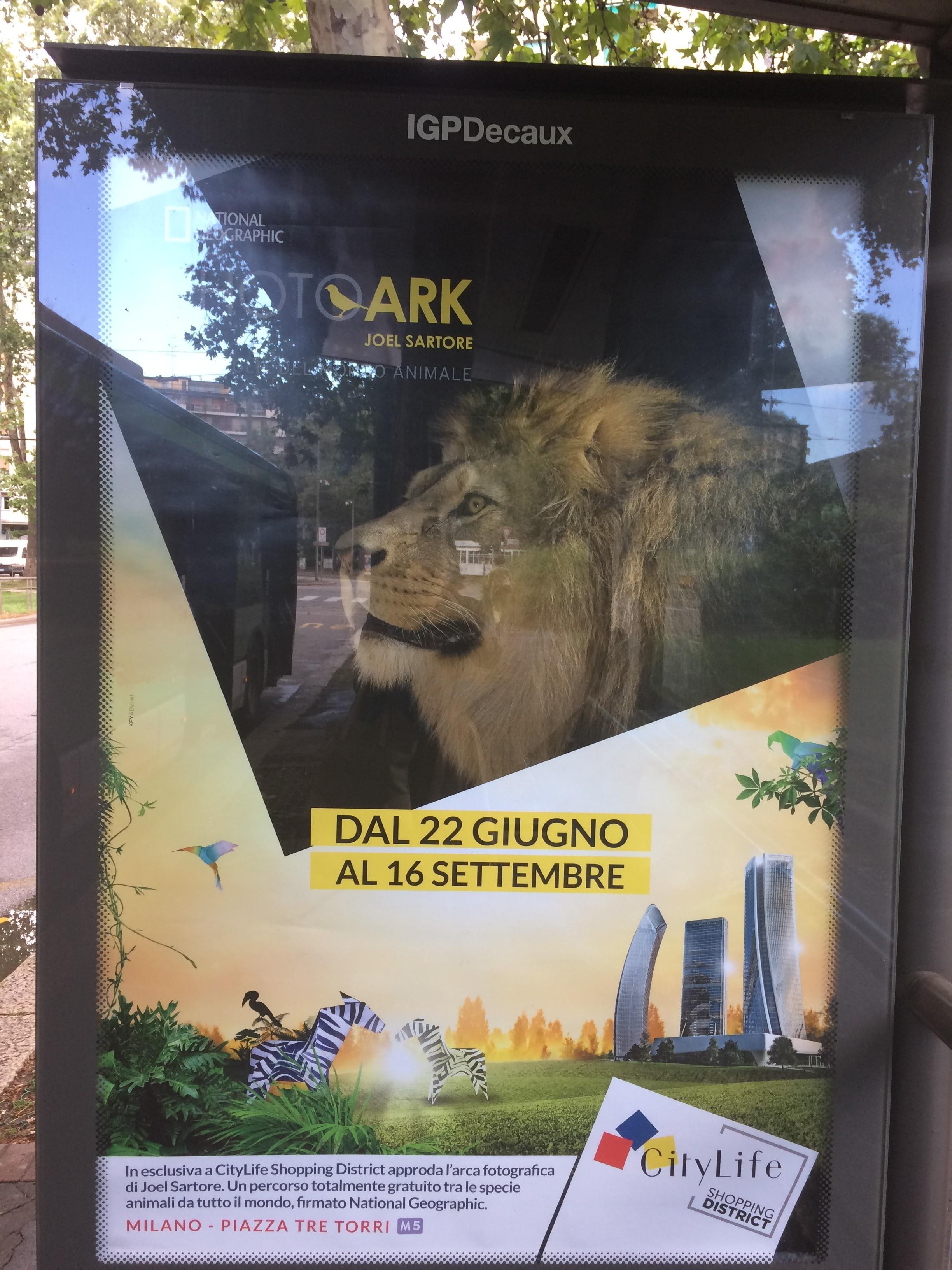 La mostra sulla sesta estinzione di Joerl Sartore a CityLife. La foto ritrae un esemplare di leone berbero in uno zoo europeo.