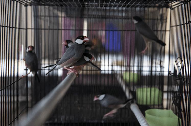 Java Sparrow - Credit Gabby Salazar