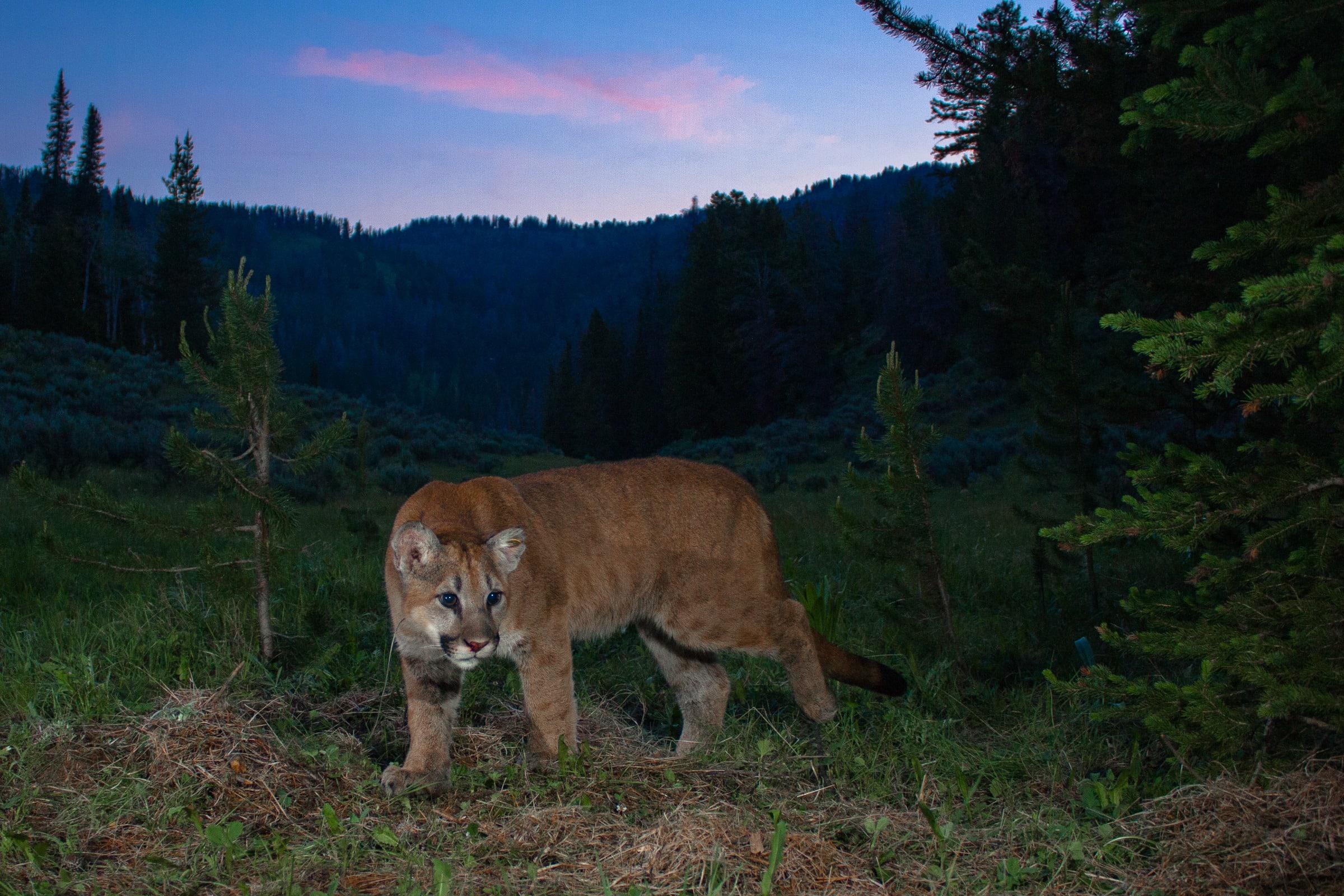 (Photo Credit : Neil Wight – Teton Cougar Project Panthera)