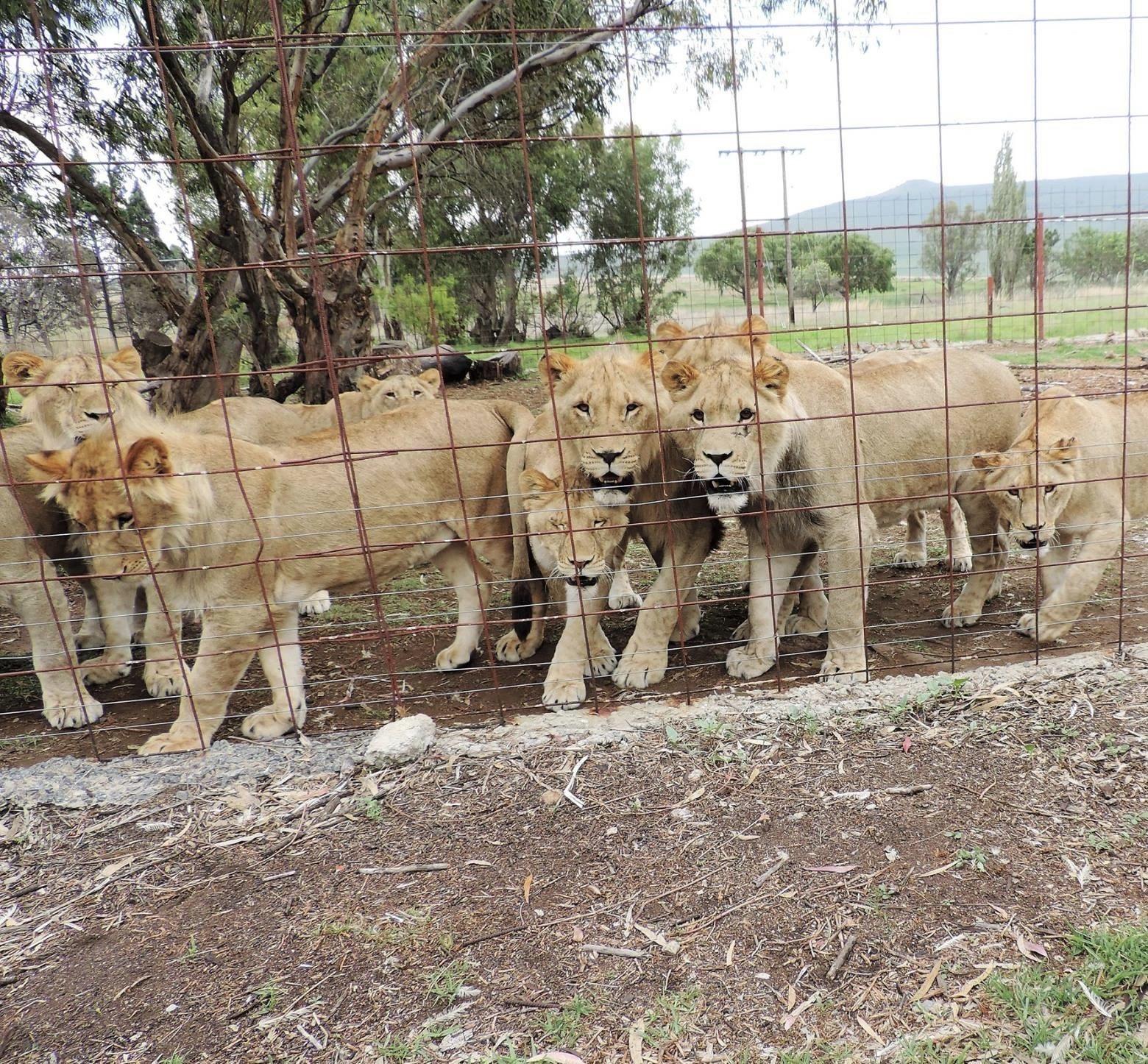 Il Sudafrica ha una popolazione di leoni in cattività che potrebbe contare 12mila individui. In aggiunta ai dilemmi etici sul destino di questi animali, molti conservazionisti ritengono che i leoni allevati rappresentino una minaccia genetica anche per i leoni selvatici.